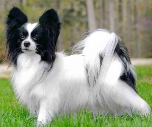 papillon-dog-picture